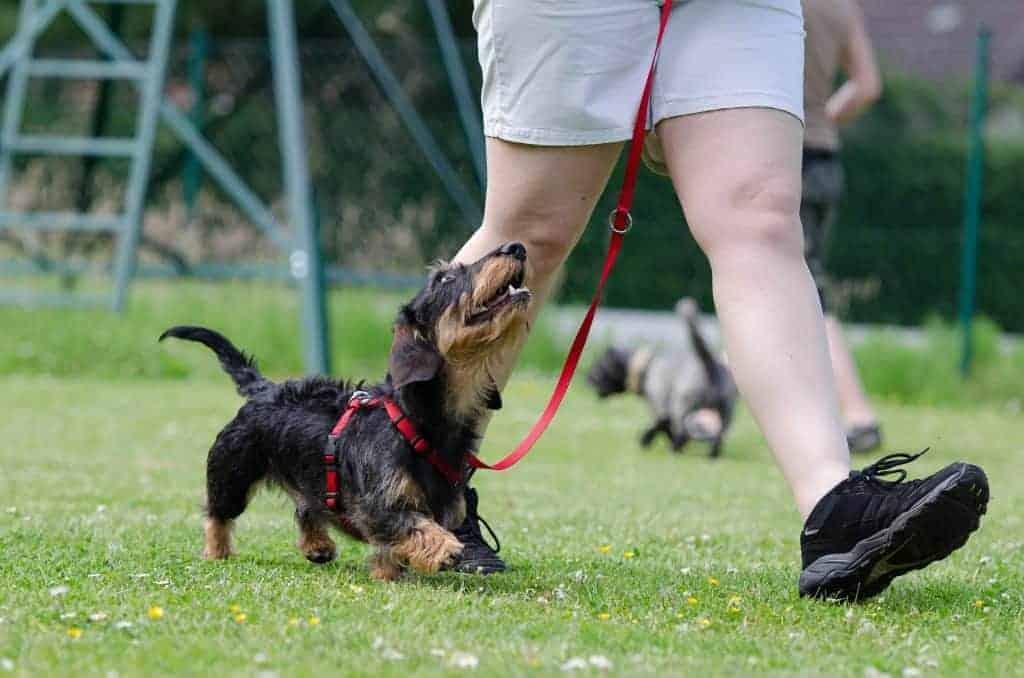 כלב במהלך אילוף