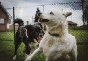 שני כלבים רבים