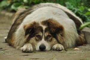 כלב שמן (צילום: Pixabay)
