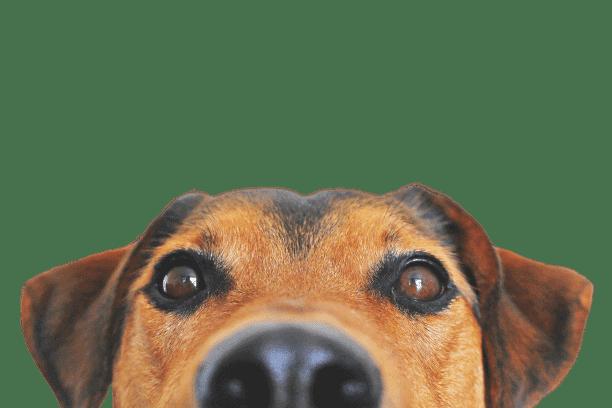 רויאל קנין לכלב