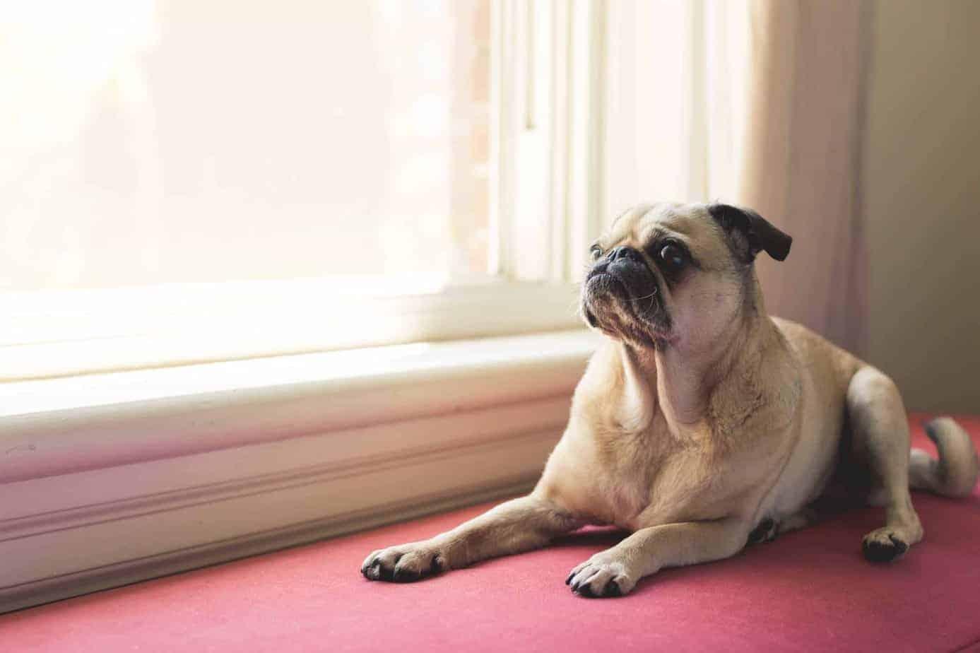חרדה בכלבים. כלב חרד מחכה להורים