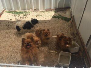 כלבי פומרניאן שסבלו מהזנחה \\ צילום: משרד החקלאות