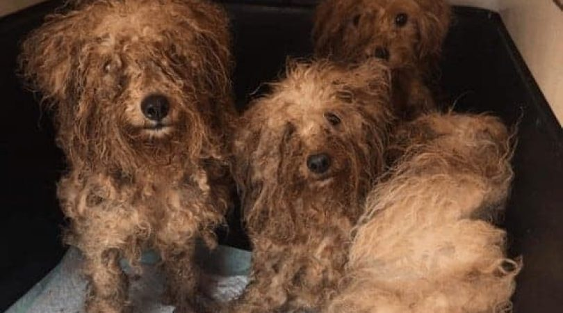 כלבים במטחנת גורים