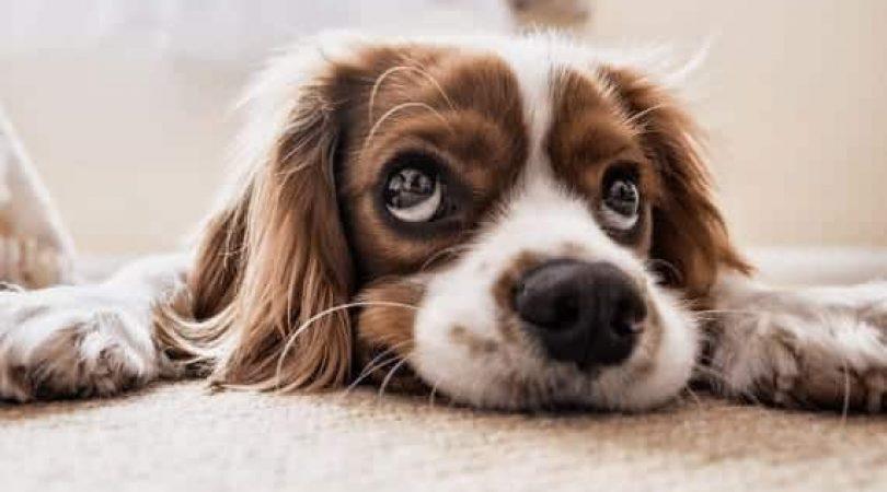 כלב עם עיני גור (צילום: Pixabay)