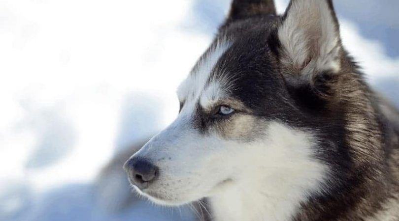 כלב האסקי
