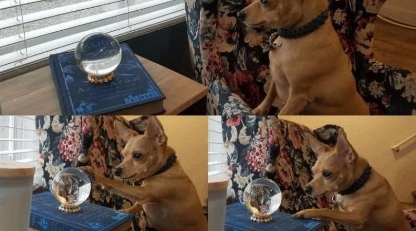 כלב מביט בכדור בדולח