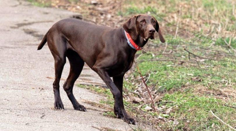 קורונה כלב - למה הם סובלים מזה?