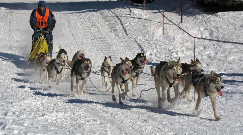 מזחלות כלבים